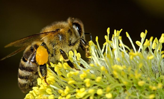 Bienensterben - Seltenes Bild einer Biene beim bestäuben einer Blume