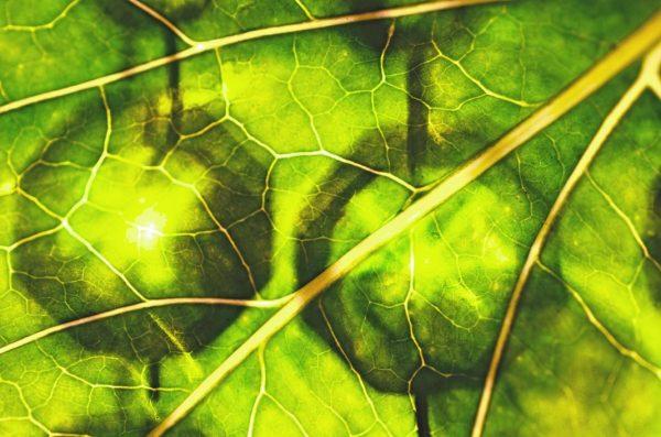 Blatt voll mit Chlorophyll