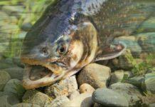 Forelle schwimmt flussaufwärts