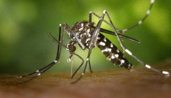 Tigermücke als Verursacher von Malaria