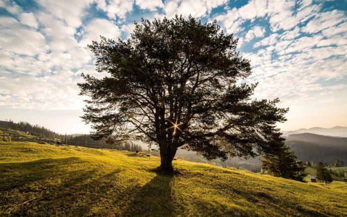 Einsamer Baum, Symbol für die Keltisch-Druidische Glaubensgemeinschaft
