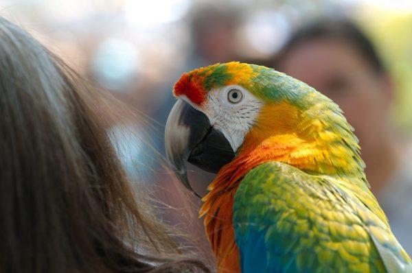 Künstler der Eitelkeit: Bunter Ara, Papagei sitzt auf einer Schulter