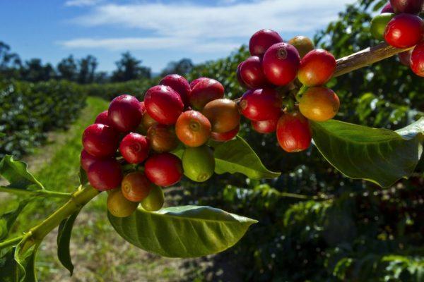 Reife Kaffee Beeren