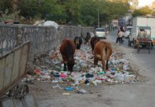 Cows eating trash, Jaipur, India.