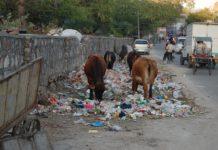 Cows eating trash, Jaipur, India.