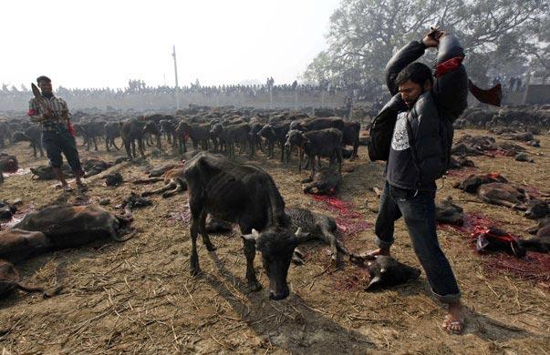 Tiere, hier Kühe, werden geköpft in Nepal