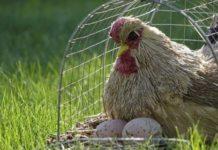 Huhn mit zwei Eier im Käfig